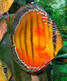 Wild red discus April's Aquarium Biotope Aquarium, Discus Aquarium, Discus Fish, Freshwater Aquarium Fish, Beautiful Tropical Fish, Beautiful Fish, Underwater Animals, Underwater Life, Acara Disco