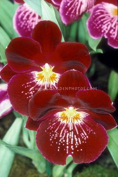 Miltonia Celle - waterfall type Pansy Orchid hybrid Miltoniopsis