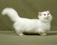 Napoleon Cat~ I guess this is what a dachshund would look like if it morphed into a cat!
