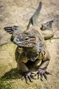 quoteallthethings:Rhino Iguana (Source)
