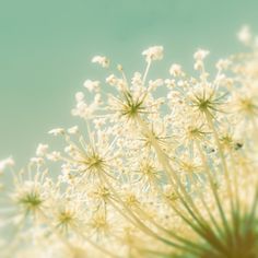 Popcorn - queen anne's lace soft delicate cream flowers on metallic teal aqua sky home decor nature photo to decorate your walls - Fine Art Flower Photography Print 8x8