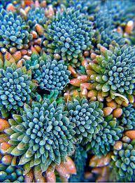 Image result for malibu blue succulent