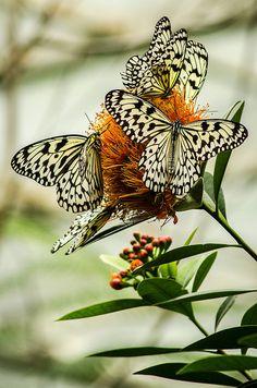 Idea leuconoe Butterflies