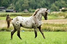 Appaloosa Horse.... The most beautiful and AWSOME breed of horse