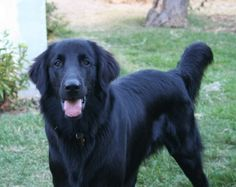 Flat Coated Retriever, potentially our next fur baby. A black Cooper? Yes please!