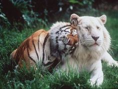 Tiger and Lion Cuddling. Photo: Tiger and Lion Cuddling. This Photo was uploaded by Beautiful Creatures, Animals Beautiful, Intj Enfp, Introvert, Gato Grande, Tiger Love, Tiger Tiger, Mundo Animal, All Gods Creatures