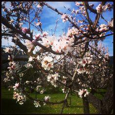 Almendro / Almond tree.  By Daudiovisual.