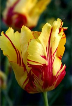 Texas Flame Tulips