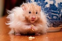 Caring for Hamsters Animals And Pets, Funny Animals, Cute Animals, Wild Animals, Wallpaper Pictures, Animal Wallpaper, Teddy Hamster, Hamster Pics, Hamster Stuff