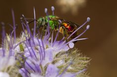 Red and Green Sweat Bee