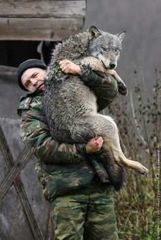Belarus zoologist Dmitry Shamovich carries a wolf at his farm near a town of Sosnovy Bor some 300 km north of Minsk on October 29, 2010. Since 2004 he has raised twelve wolves.     AFP PHOTO / ALEXEY GROMOV