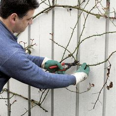 Prune yearly for healthier, more manageable growth and bigger, better flowers