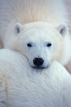 i love polar bears <3
