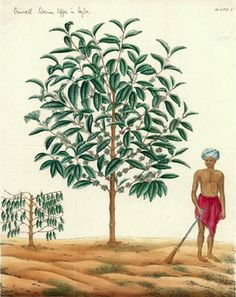 arabica coffee trees - Google Search