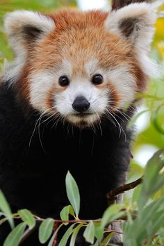 Little Red Panda Cub