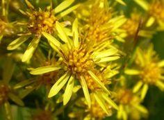 Dandelion, Medicine, Diet, Plant, Dandelions, Taraxacum Officinale