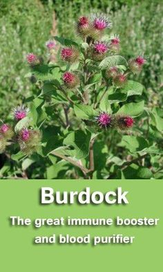 This herb is mainly used for digestive and liver problems but also has some other health benefits, such as a skin cleanser to treat acne, treatment of urinary tract infections, to boost energy and stamina, treat ulcers, cleanse the colon and treat psoriasis and eczema. I cdiabetes.com