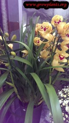 Cymbidium - How to grow & care Growing Orchids, Orchid Care, Season Colors, Succulents, Garden, Flowers, Plants, Garten, Caring For Orchids