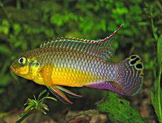 "Pelvicachromis taeniatus ""moliwe"""