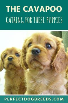The Cavapoo dog, sometimes known as a Cavoodle is not a pure bred dog. It is a cross breed of a Cavalier King Charles Spaniel and a Miniature or Toy Poodle Cavapoo Puppies, Cute Puppies, Poodle Mix, Boredom Busters, Puppy Care, King Charles Spaniel, Mixed Breed, Family Dogs, Mans Best Friend