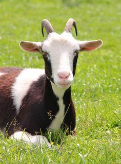 Als ik gemekker wil koop ik wel een geit