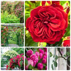 Редкие Rosa семена, Вьющихся растений, Polyantha роза, Китайские семена цветов, Вьющихся роз семена, 100 шт./пакет купить на AliExpress