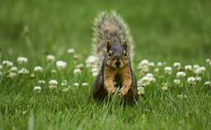 Peanuts!! | It's been a while since I posted a squirrel shot… | Flickr