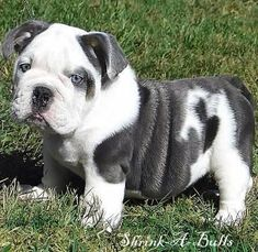 Blue english bulldog -- can I just make it stay that small and wrinkly forever?