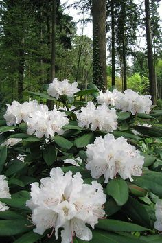white blooms... in the forest ... Rhodies!!!