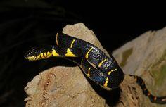Boiga dendrophila (Mangrove Cat Snake)