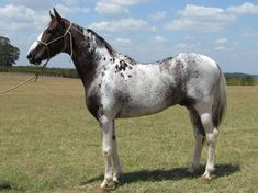 Appaloosa looks almost silver in this light Rare Horses, Wild Horses, Most Beautiful Animals, Beautiful Horses, Rare Horse Colors, Campolina, Horse Markings, Appaloosa Horses, Blue Roan Horses