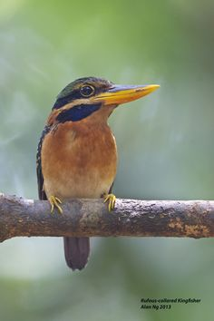 Rufous-collared Kingfisher / Explore allnt's 2613 photos on Flickr.