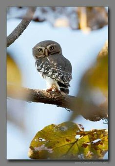 Forest owlet, India