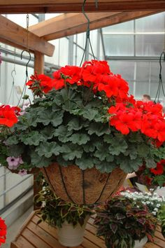 """Geranium Caliente """"Fire"""" is a profuse bloomer with many rose pink single blooms which cover the plant. Ideal for containers, this award winning  ivy-zonal hybrid is very heat and drought tolerant and blooms non stop all summer."""