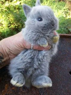 The greatest gift I could ever get, would be a Netherland Dwarf bunny with a pin. - The greatest gift I could ever get, would be a Netherland Dwarf bunny with a pink bow! Tiny Bunny, Cute Baby Bunnies, Cute Little Animals, Cute Funny Animals, Adorable Baby Animals, Cute Pets, Super Cute Animals, Cutest Animals, Netherland Dwarf Bunny