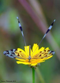 Nemoptera, by Stefanos Martimianakis
