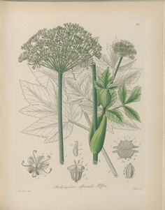 Garden Angelica, Holy Ghost - Angelica archangelica - Impressive biennial plants grow to 6 feet tall - circa 1895