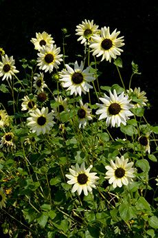 images of white sunflowers - Google Search
