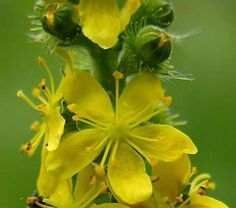 agrimony (flores de bach)