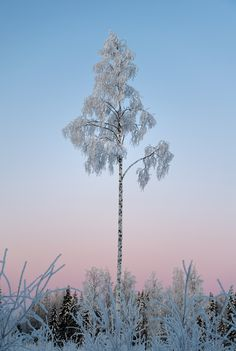 Frozen Tree at -25°C, Viitasaari, Finland
