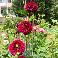 A pompon dahlia threesome  .  #dahlia #flowers #growyourown #slowflowers #dahliaflower