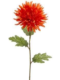 Dark orange spider dahlia. $2.49.