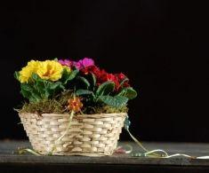 Cos ratan 3 primule plantate (se pastreaza o perioada indelungata) 35 lei + TVA, CorporateBaskets. Wicker Baskets, Lei, Plants, Gifts, Home Decor, Presents, Decoration Home, Room Decor, Plant