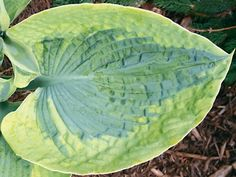 "HOSTA LINDA SUE—Size: 20"" tall, 50"" wide. Plant zones: 3-9."