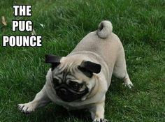 Pug pounce