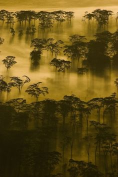 Pre-Dawn Light and Fog ~ Lerai Forest by Jim Griggs :)