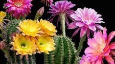 VIZIONEAZĂ VIDEO-ul PENTRU A AFLA de ce cactusul înflorit este un semn bun în casă: