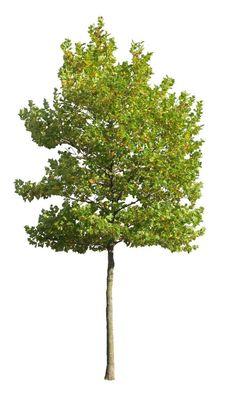 plane-tree cutout image