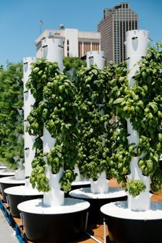 The new rooftop garden on the Rouses Market in downtown New Orleans doesn't look like your typical herb garden; but this isn't your typical grocery store. Parsley, basil and cilantro are among the herbs the company is growing to package and sell on the building's ground floor.    Rouses Markets is the first grocer in the country to develop its own aeroponic urban farm on its own rooftop, says managing partner Donny Rouse.