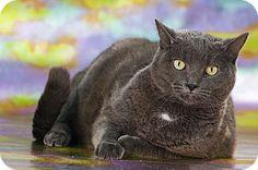 Media, PA - Domestic Shorthair. Meet Sam a Cat for Adoption.